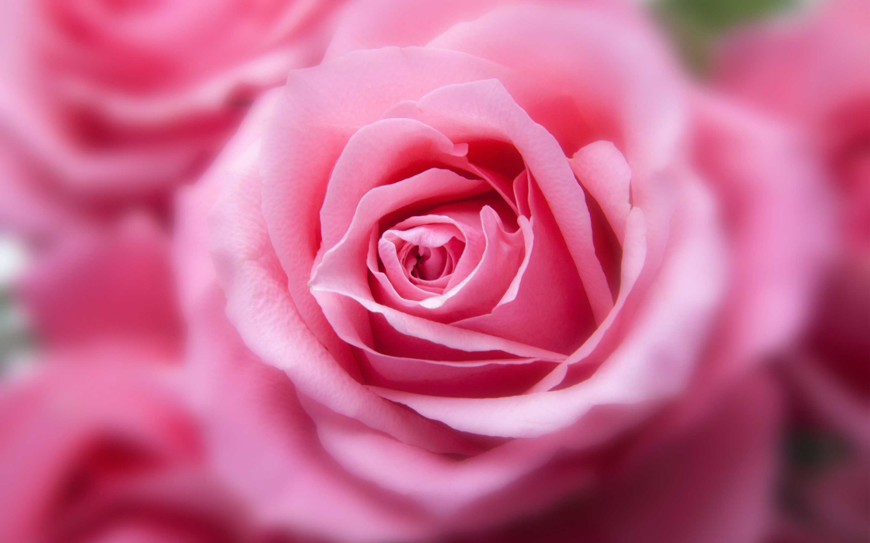 Screenbeauty Pink Color Rose Flowers