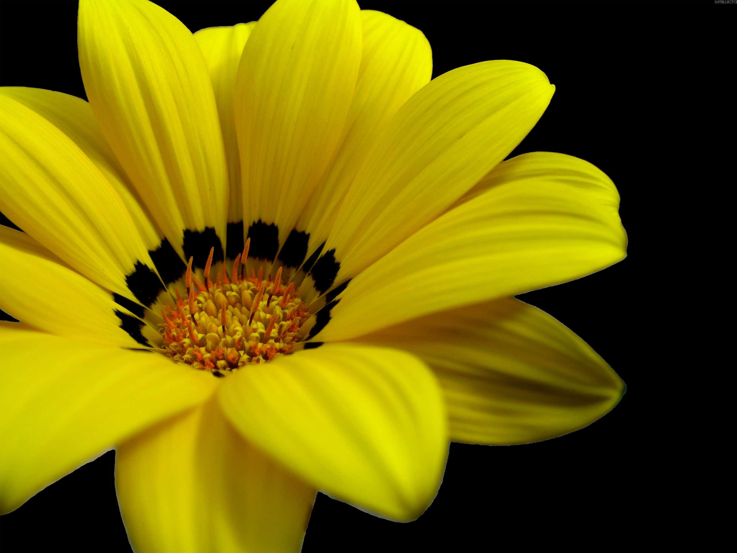 Great Yellow Flower