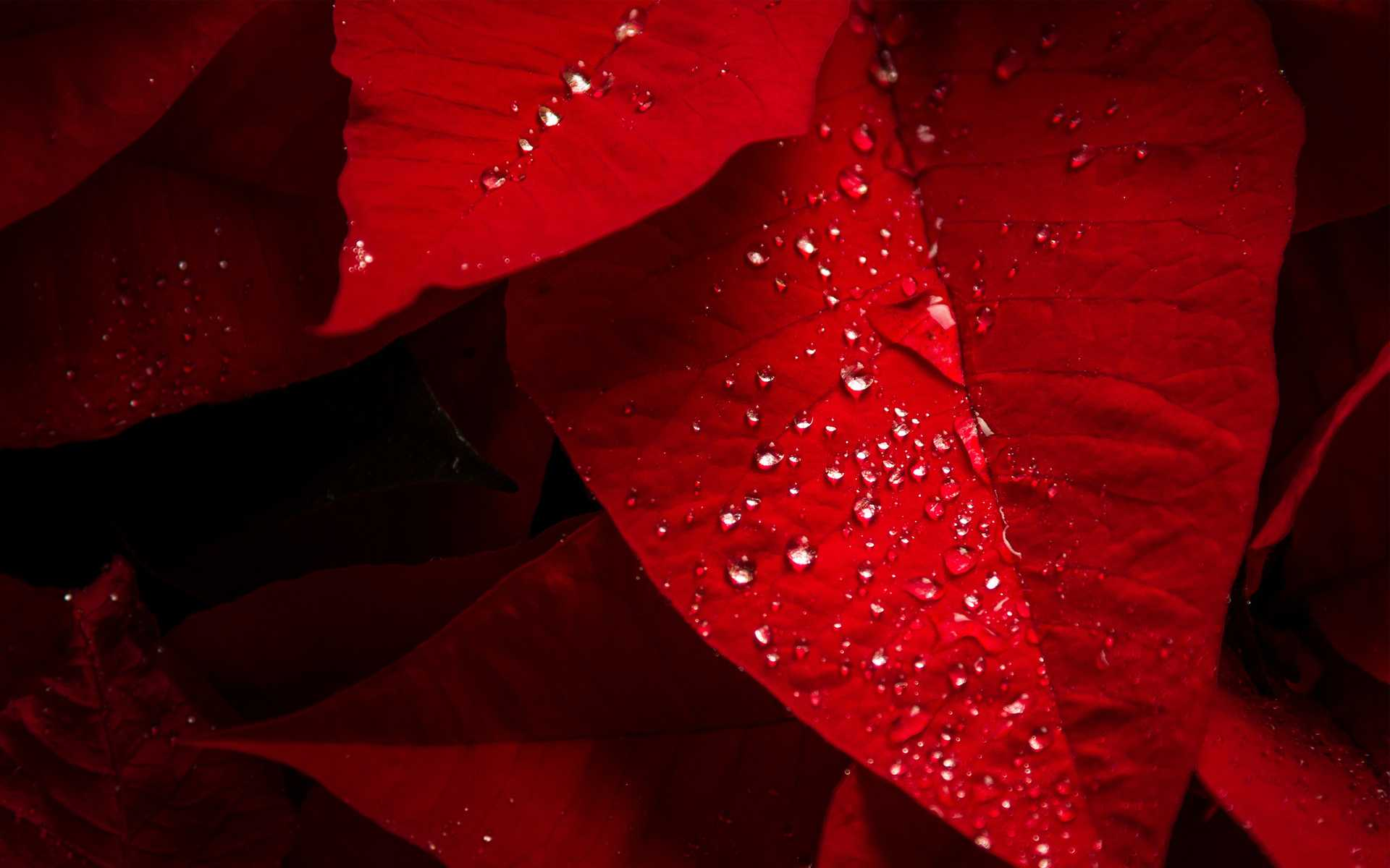Poinsettia Red Leaves