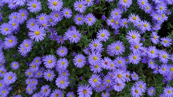 asters, flowers, flower bed