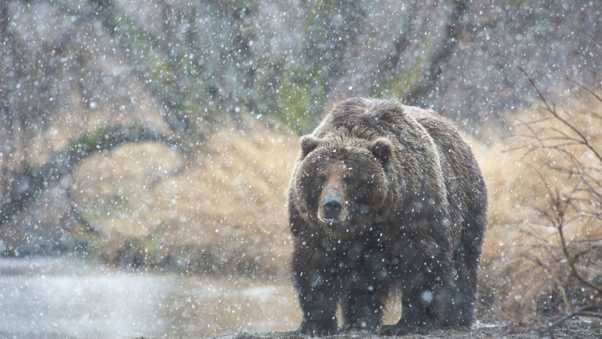 bear, snow, kamchatka