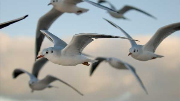 birds, gulls, flying