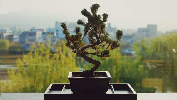 bonsai, flower pot, flower