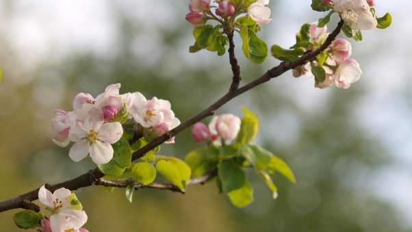 branches, flowering, plant