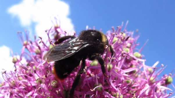 bumble bee, flower, flying