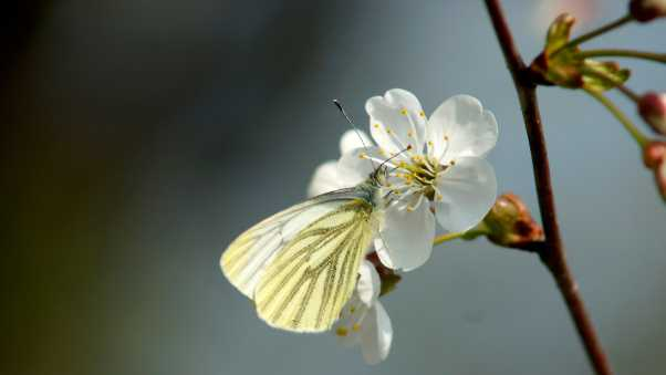 butterfly, cherry, spring