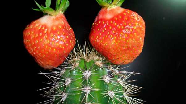 cactus, strawberry, creative