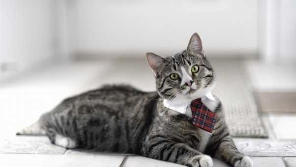 cat, cute, tie