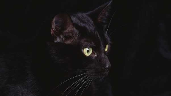 cat, face, black