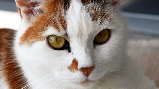 cat, face, spotted