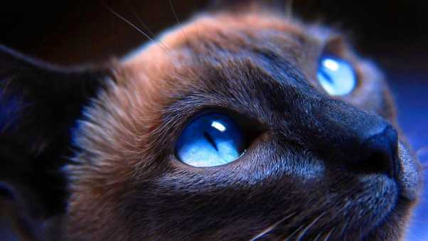cat, muzzle, blue-eyed