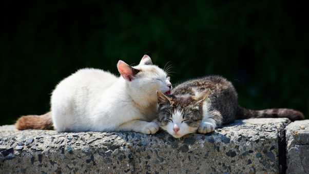 cats, couple, caring