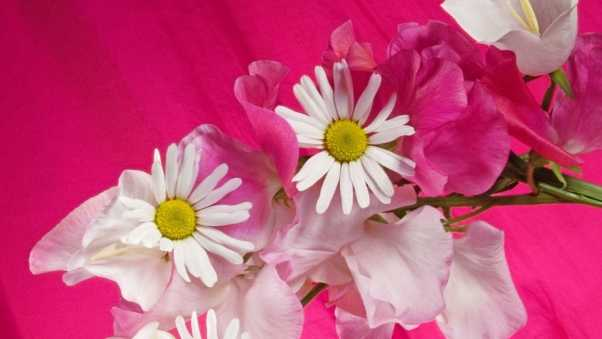 chamomile, flowers, cover