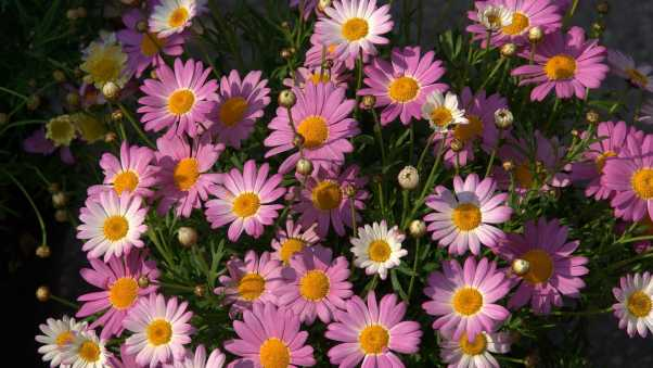 chamomile, flowers, pink