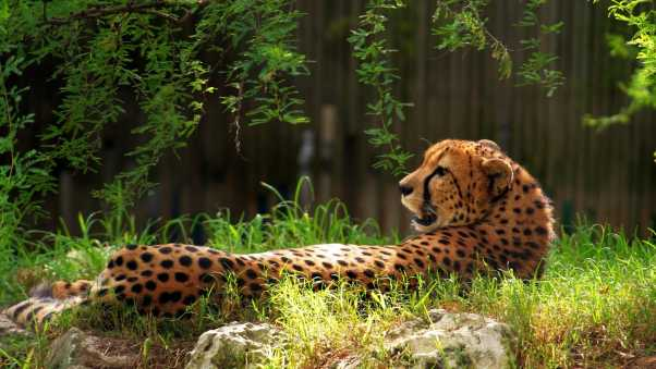 cheetah, spotted, grass