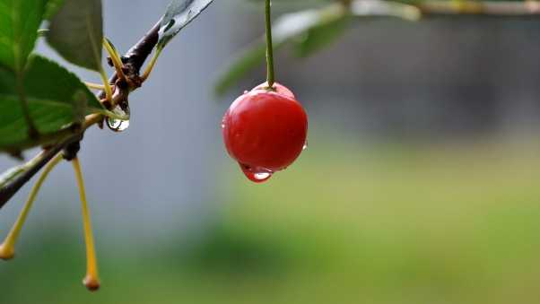 cherry, close-up, drop