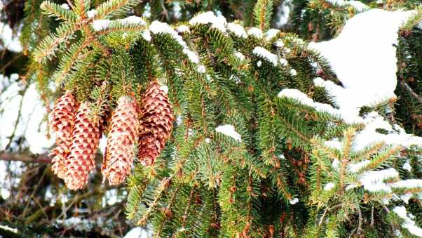 cones, fir-tree, branches