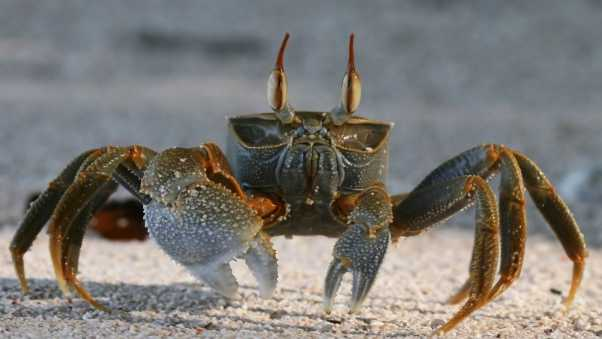 crab, sand, claws