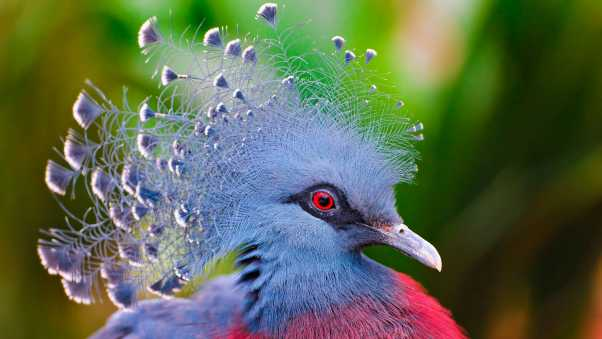 crowned pigeon, bird, feathers