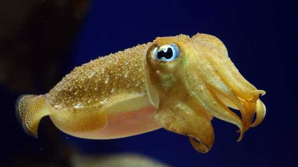 cuttlefish, underwater, swim
