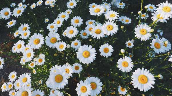 daisies, glade, flowers