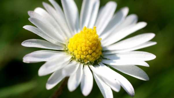 daisy, petals, light