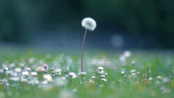 dandelion, flowers, meadow