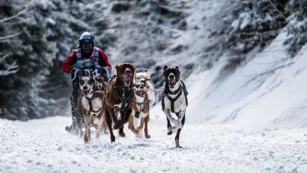 dog, racing, snow sports
