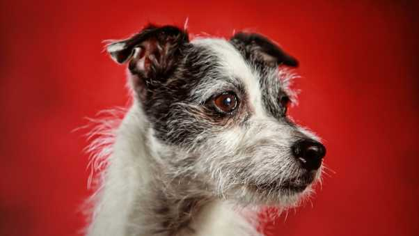dog, red background, snout