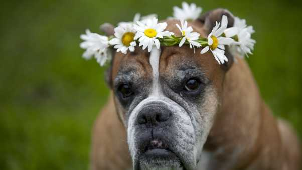 dog, wreath, flowers