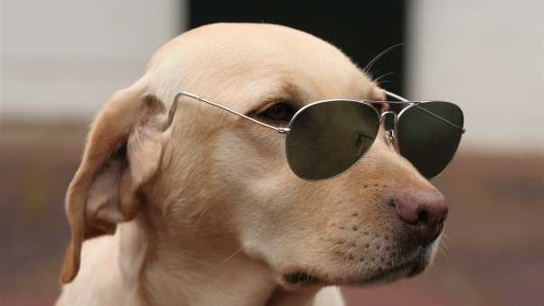 dogs, face, glasses
