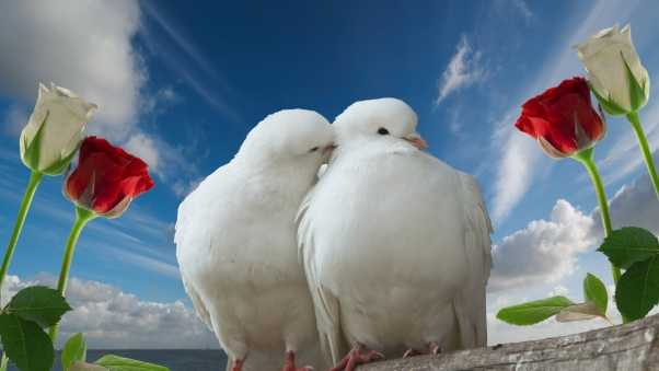 doves, couple, rose