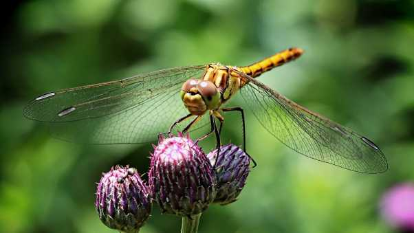 dragonfly, insect, flower