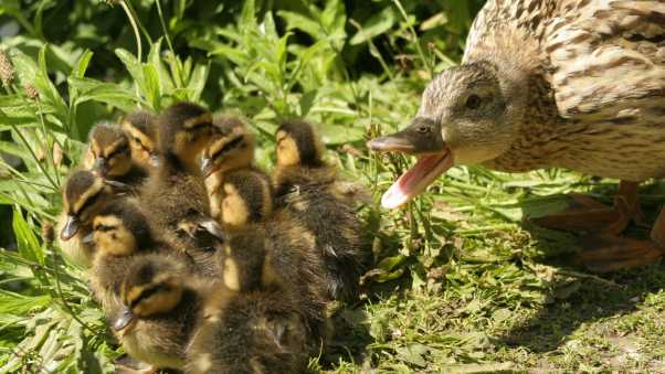 duck, young, grass