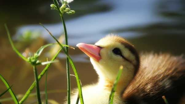 duckling, twigs, grass