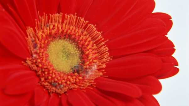 flower, gerbera, red