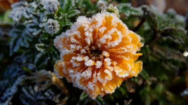 flower, hoarfrost, frosts
