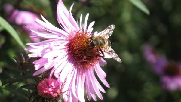 flower, pink, bee pollination