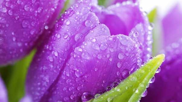 flower, tulip, drops