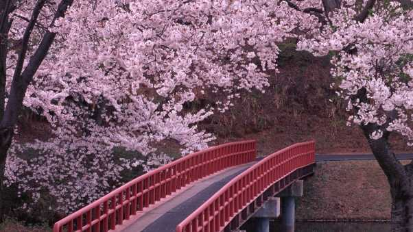 flowering, trees, bridge