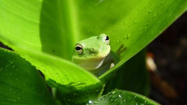 frog, leaves, drops