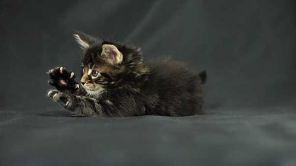 funny cat, kitten, maine coon