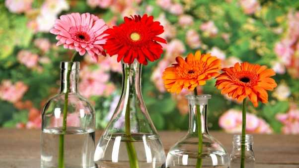 gerbera, flowers, bright