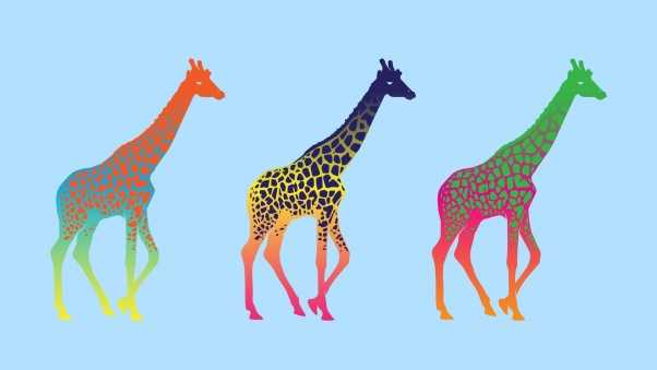 giraffes, three, series