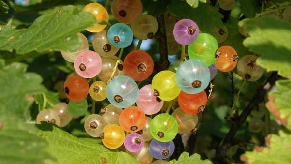 gooseberries, colorful, branch