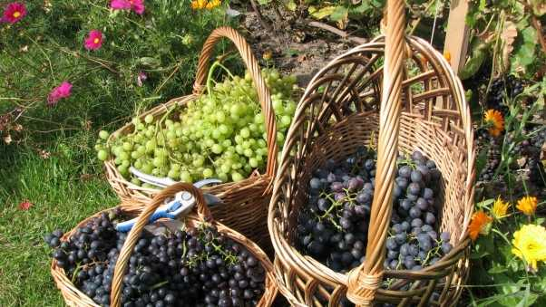grapes, baskets, clusters