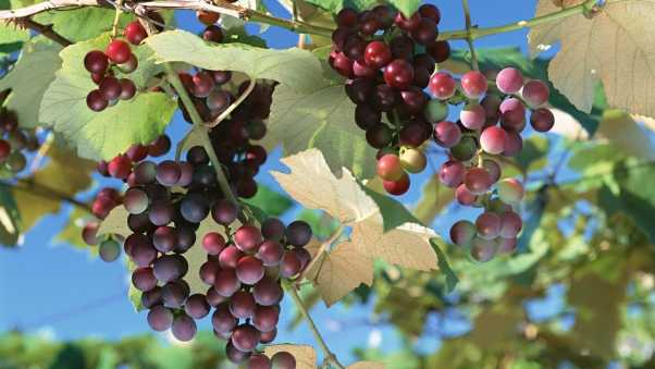 grapes, bunch, branches