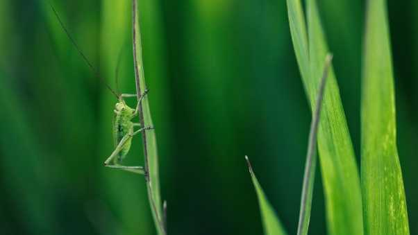 grasshopper, grass, whiskers