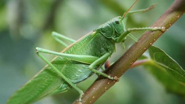 grasshopper, insect, close-up