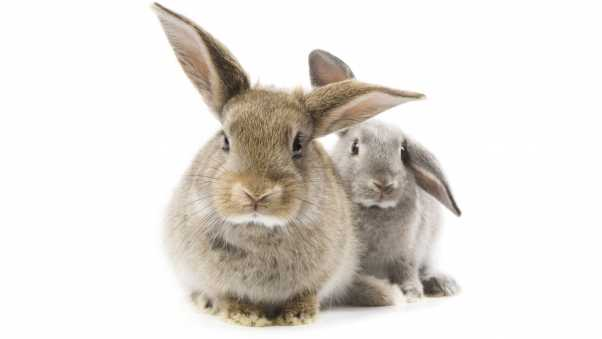 gray rabbit, furry animal, ears